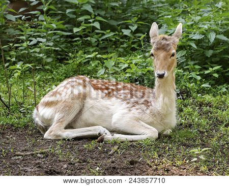 The Female Of The European Fallow Deer Has A Rest In The Wood. Russia