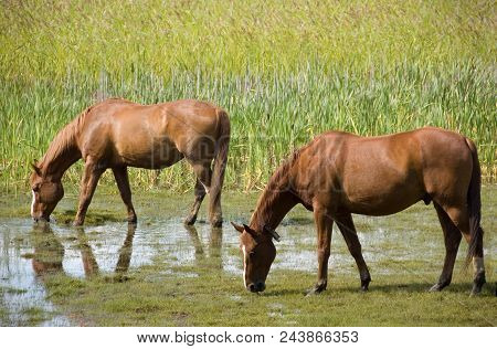 Two Horses Pasturing On The Grass Field