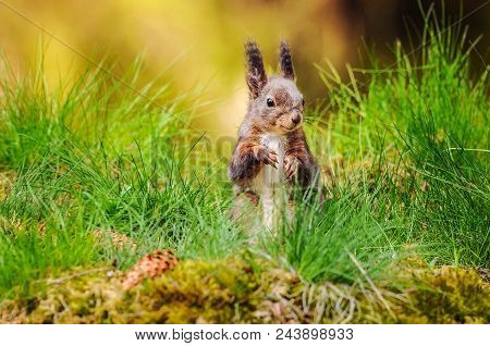 Eurasian Red Squirrel (sciurus Vulgaris) Sitting In Fresh Green Grass With Moss And Conifer Cones In