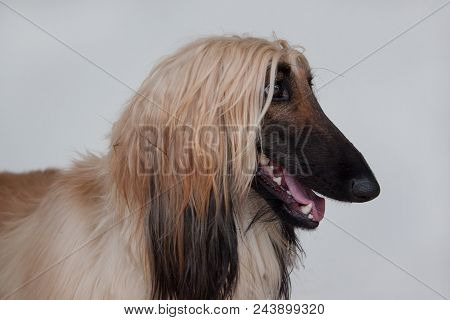 Cute Afghan Hound Close Up. Isolated On Gray Background. Eastern Greyhound Or Persian Greyhound. Pet
