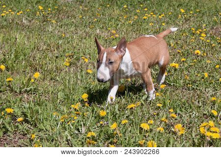 Cute Miniature Bull Terrier Is Playing On A Green Meadow. Pet Animals. Three Month Old.