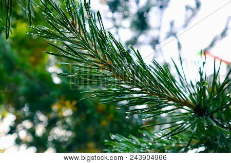 Photo Depicting A Bright Evergreen Pine Tree Green Needles Branches With Rain Droplets. Fir-tree, Co