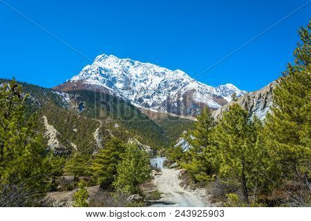 Snowy Mountains And Coniferous Forest, Nepal.