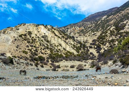 Landscape With Grazing Horses In The Himalayas On A Sunny Spring Day, Nepal.