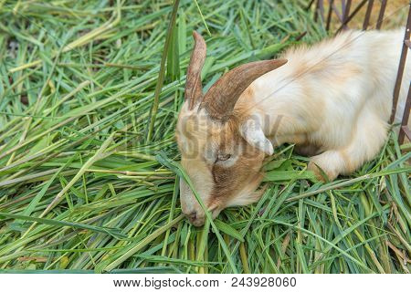 Goat Is Eating Grass In The Farm