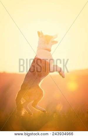 Young Dog Jumping In Front Of A Golden Sunrise Background With Backlight And Flares
