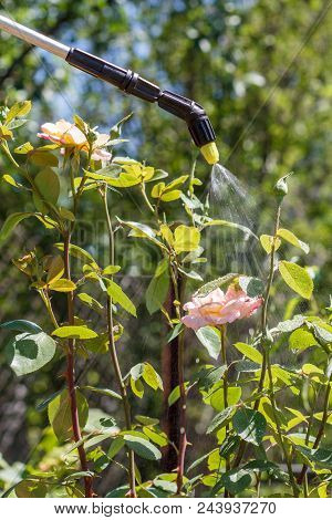 Spaying Of Rose Bushes. Protecting Rose Plants From Fungal Disease Or Vermin With Pressure Sprayer I