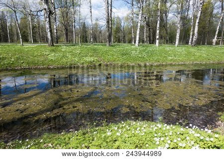 The Small River With A Duckweed, A Channel In The Park, Birches On Coast And The Blossoming Snowdrop