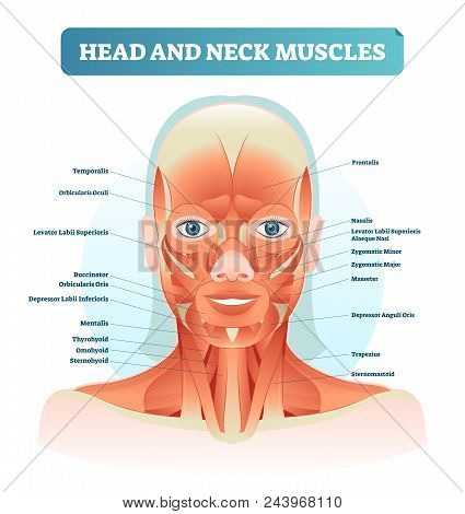 Head And Neck Muscles Labeled Anatomical Diagram, Facial Vector Illustration With Female Face, Healt