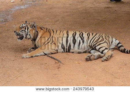 Royal Tiger Laying Chained On Stage For The Safety Of Tourists In The Open Zoo.