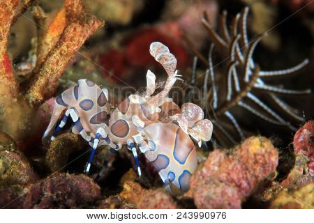 Harlequin Shrimp (hymenocera Elegans) At Anilao, Philippines