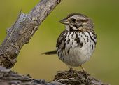 A Song sparrow perched on a log. poster