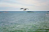 single sea gall flying to island in Baltic Sea at evening glow poster