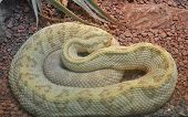 A single neotropical rattlesnake (crotalus duriaus) lying on small red rocks poster