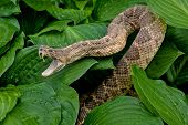 close up of aggressive rattlesnake in hosta plants with raindrops poster