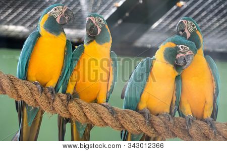 A Beautiful Blue-and-yellow Macaw (ara Ararauna), Also Known As The Blue-and-gold Macaw