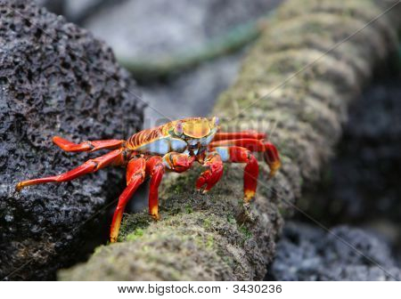 A colorful sally light foot crab eats food off a old rope poster