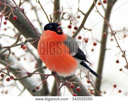 Bright Red Bullfinch On A Branch Of Mountain Ash In Winter. The Male Bullfinch Bird Eats Berries In