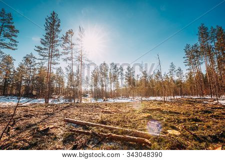 Fallen Tree Trunks In Deforestation Area. Pine Forest Landscape In Sunny Spring Day. Green Forest De