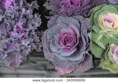 Purple And Green Ornamental Cabbage On A Natural Background