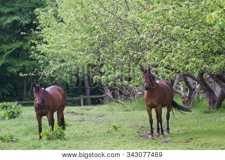 Horse Grazing On A Field In Spring In Denmark