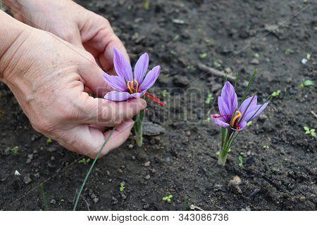 Closeup Of A Farmer, Collects Crocus Sativus, Commonly Known As Saffron Crocus, Or Autumn Crocus.the