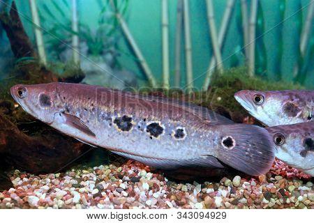 Channa Pleurophthalma Fish. Aquarium Fish Snakehead Mottled Closeup