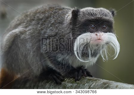 A Close Up Portrait Of An Emperor Tamarin, Showing Its Long Moustache And Staring Alertly To The Rig