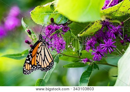 Monarch Butterfly Perched On Purple Wildflowers In Conservation Area