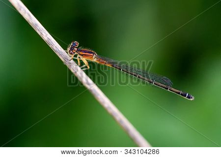 Orange And Black Eastern Forktail Damselfly At Rest