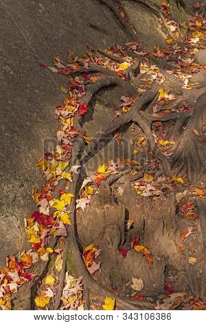 Colorful Leaves On Roots And Rocks In The Adirondack Mountains In New York