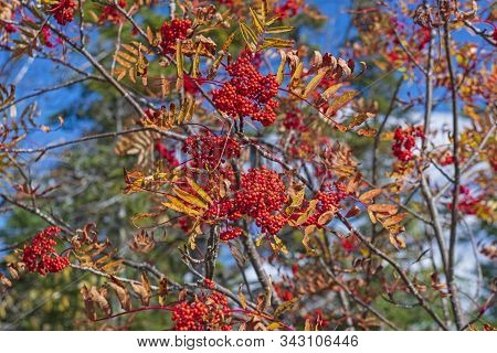 Mountain Ash Berries In The Autumn Sunlight In The Adirondack Mountains In New York