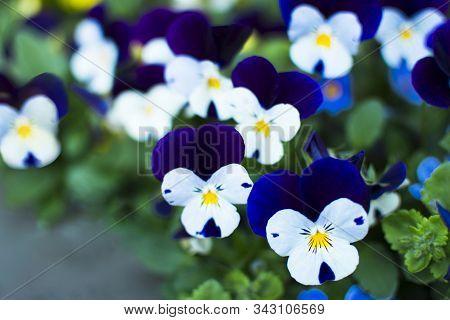 Viola Tricolor Delicate Beautiful Flower White, Dark Blue Trend Color 2020 Classic Blue. Viola Genus