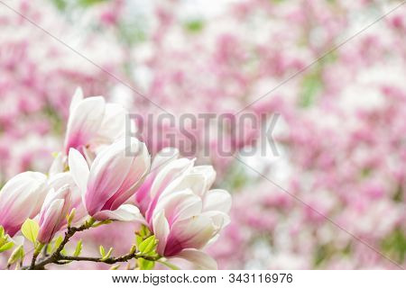 Branch Of Magnolia. Magnolia Flowers. Magnolia Flowers Background Close Up. Floral Backdrop. Botanic