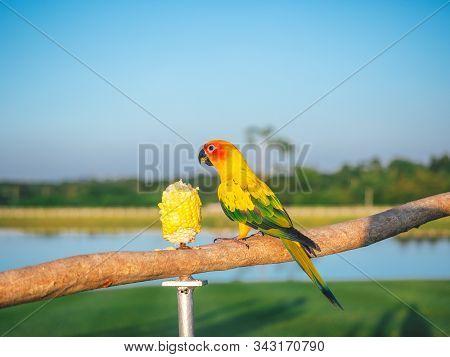Beautiful Bird Pet Sun Conure Parrot (aratinga Solstitialis) Eating Sweet Corn On A Log. This Sun Co