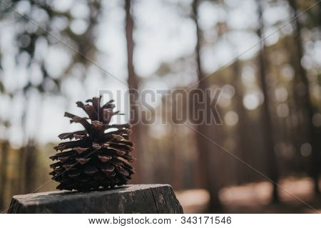 Close Up And Side View Image Of Dry Pinecone Against Blurred Bokeh Background Of Pine Trees With Cop