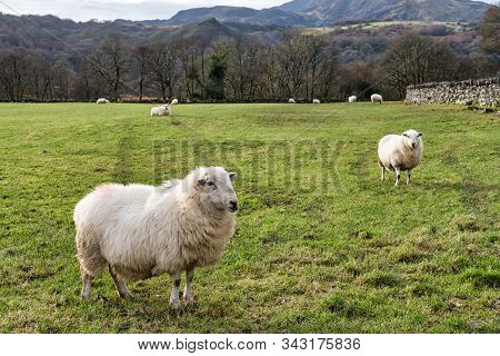 Sheep In A Field In Snowdonia National Park In Northern Wales