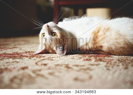 Little White And Redheaded Cat Lying On Carpet