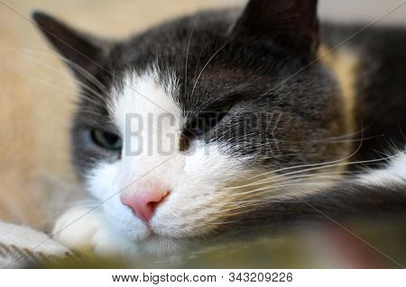 A gray cat with a white muzzle snoozing. Cat head close up. Pet portrait. Blurred background. Selective focus. poster