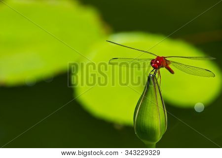 Thai Red Dragonfly