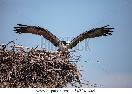 Female Osprey Pandion Haliaetus Perches On A Nest