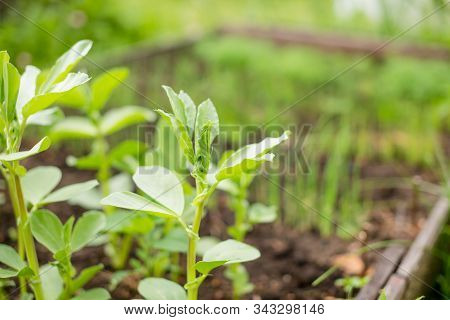 In The Soil Green Pea Sprout Shoots.green Shoots In The Garden.vegetable Pea In The Field. Flowering
