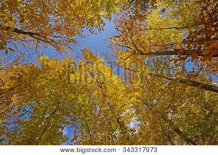 Looking Up Into The Autumn Colors In Adirondack State Park In New York