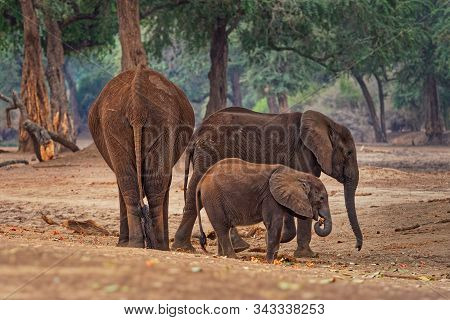 African Bush Elephant - Loxodonta Africana In Mana Pools National Park In Zimbabwe, Trhree Trio Elep