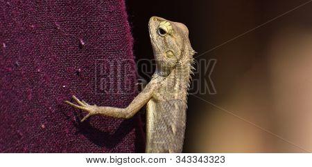 The Oriental Garden Lizard, Eastern Garden Lizard, Bloodsucker Or Changeable Lizard Is An Agamid Liz