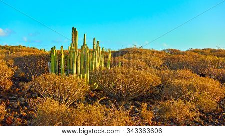 Desert area with bushes and cactus in the south of Tenerife at sunset, Canary Islands.  Cactus: The Canary Island spurge (Euphorbia canariensis)