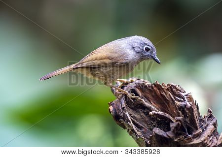 Red-flanked Bush Robin