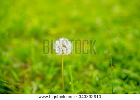 Meadow With Dandelions And Warm Sunlight.nature White Flowers Blooming Dandelion. Background Beautif