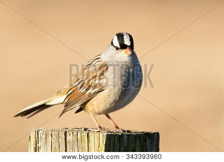 Beautiful White-crowned Sparrow on top of a wooden post, with muted winter background