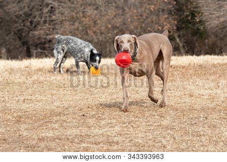 Weimaraner dog carrying a red ball towards the viewer, with another dog on the background